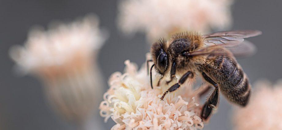 Cenny pyłek pszczeli